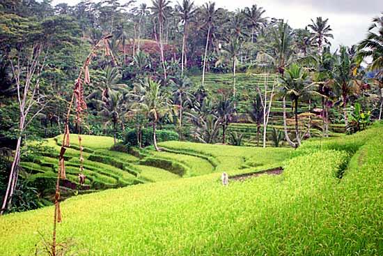 rice_field_03