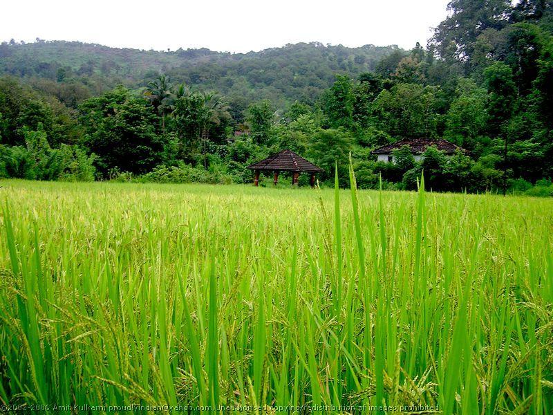 rice_field_06